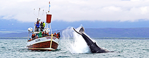 GG1-Whale-Watching_Faldur-og-stokkvandi-hnufubakur-juli-2014-IMG_5675-stor