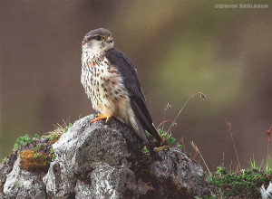 Merlin female sitting by the nest