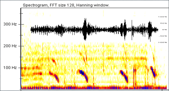 Figure 1: An example of four down swept calls in a phrase with the amplitude of the calls