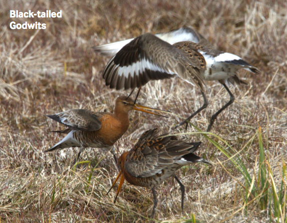 black-tailed-godwit