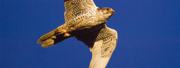 Oedipus Rex – The extraordinary love life of the Gyr Falcon