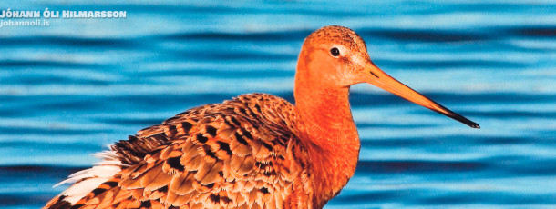 The life and loves of the Black-tailed Godwit